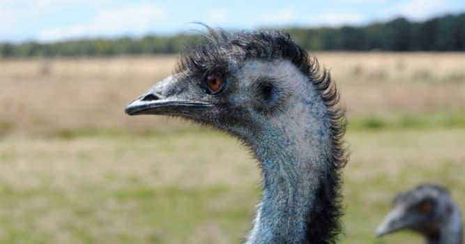 Naturaleza Pregunta Trivia: ¿De qué se alimentan los emúes?