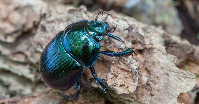 Naturaleza Pregunta Trivia: ¿De qué se alimentan los geotrúpidos, una familia de escarabajos?