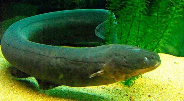 Naturaleza Pregunta Trivia: ¿Cómo es la descarga de la anguila eléctrica comparado con un enchufe casero, 220 voltios?