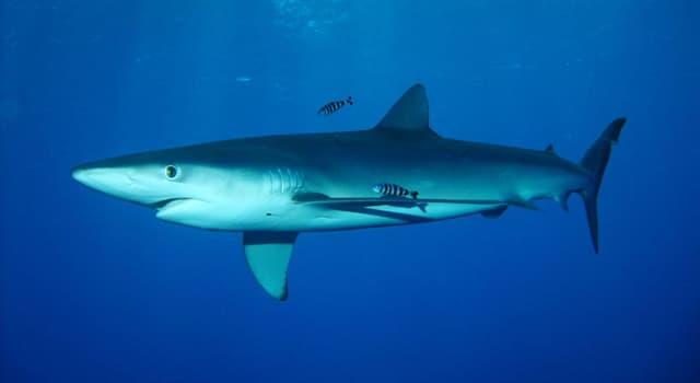 Сiencia Pregunta Trivia: ¿Cómo se llaman los órganos receptores de campos eléctricos en los tiburones?