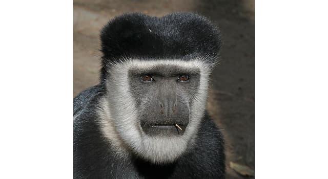 Naturaleza Pregunta Trivia: ¿Cómo se podría clasificar al primate mostrado en la imagen?