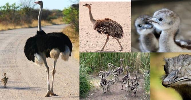 Naturaleza Pregunta Trivia: ¿Con qué nombre se lo denomina a la cría del ñandú?