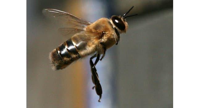 Naturaleza Pregunta Trivia: ¿Cuál de las siguientes funciones no es específica de una abeja zángano?