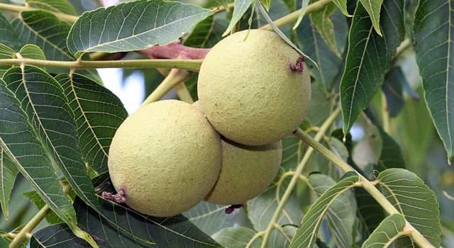 Naturaleza Pregunta Trivia: ¿Qué árbol tiene por nombre científico Juglans nigra?
