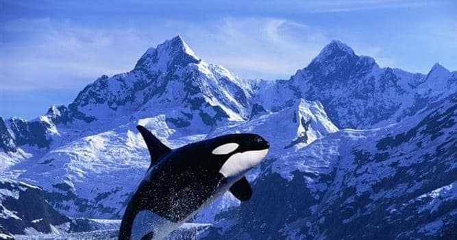 Naturaleza Pregunta Trivia: ¿Cuál es el principal depredador de las orcas?