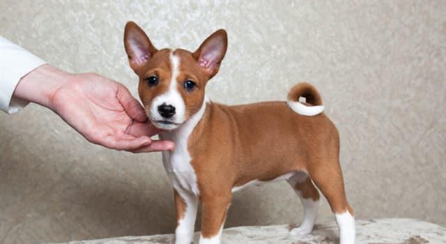 Cultura Pregunta Trivia: ¿Cuál es la raza de perros que menos ladran?