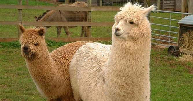 Naturaleza Pregunta Trivia: ¿Cuántas son las principales razas de alpacas en el Perú?