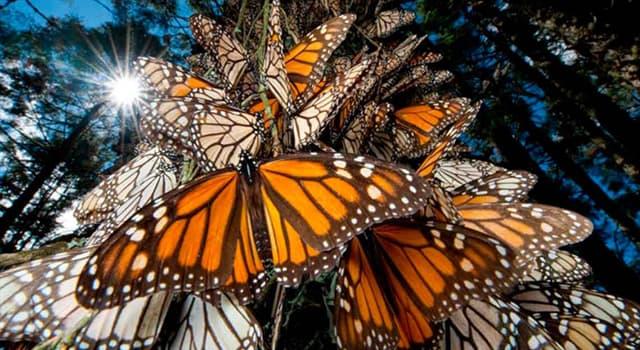 Naturaleza Pregunta Trivia: ¿Cuántos Santuarios de la Mariposa Monarca hay en Michoacán, México?