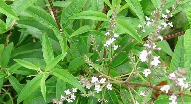 """Naturaleza Pregunta Trivia: ¿De qué continente es originaria la planta de """"Cédrón"""" (Aloysia citrodora)?"""