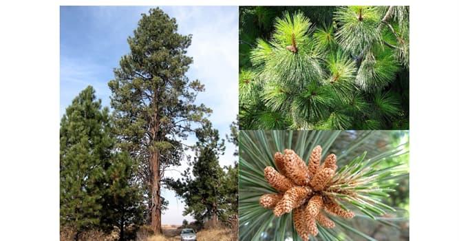 Naturaleza Pregunta Trivia: ¿De qué estado estadounidense es emblemático el pino ponderosa?
