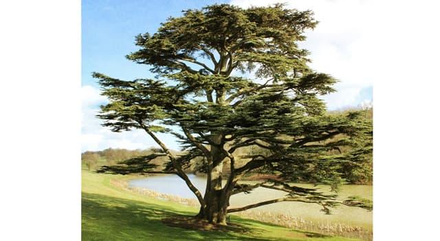 Cultura Pregunta Trivia: ¿De qué país el cedro es el árbol nacional?