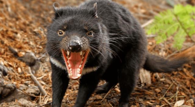 Naturaleza Pregunta Trivia: ¿De qué país es endémico el demonio de Tasmania?