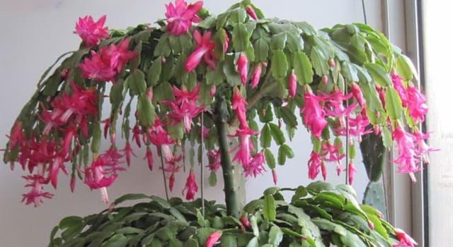 Naturaleza Pregunta Trivia: ¿De qué país es oriundo el cactus de Navidad también llamado Santa Teresita?