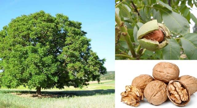 Naturaleza Pregunta Trivia: ¿De qué región es oriundo el árbol Juglans regia?
