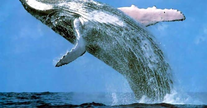 Natur Wissensfrage: Ein Herz des Blauwals ist so groß wie ein ...