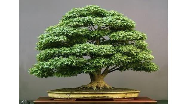Naturaleza Pregunta Trivia: ¿En cuántas categorías se clasifican por tamaño los bonsai?