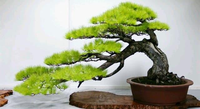 """Naturaleza Pregunta Trivia: ¿En cuántos estilos se clasifican los árboles """"Bonsai""""?"""