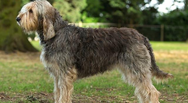 Sociedad Pregunta Trivia: ¿Por qué otro nombre es conocida la raza de perros Otterhound?