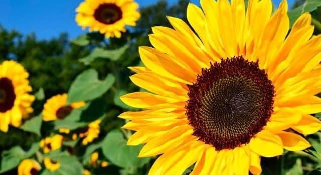 Naturaleza Pregunta Trivia: ¿Qué es heliotropismo?