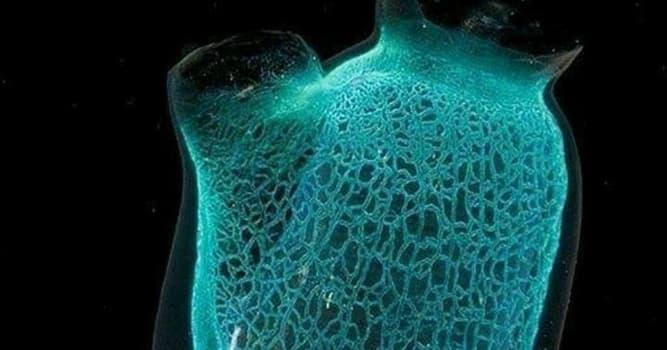 Naturaleza Pregunta Trivia: ¿Qué es una Ascidia?