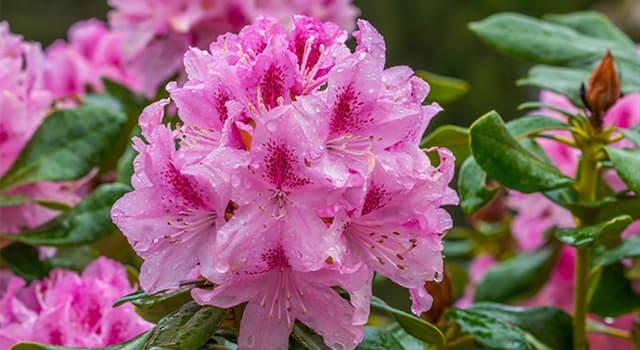 Сiencia Pregunta Trivia: ¿Qué flor lleva por nombre científico Rhododendron indicum?