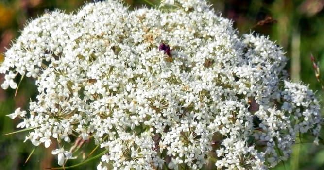 Naturaleza Pregunta Trivia: ¿Qué nombre recibe en Botánica la disposición de las flores sobre las ramas o la extremidad del tallo?