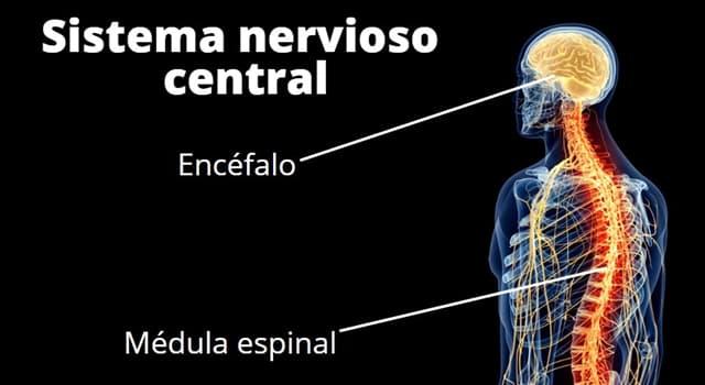 Сiencia Pregunta Trivia: ¿Qué parte del Sistema Nervioso autónomo acelera el ritmo cardíaco cuando estamos nerviosos?