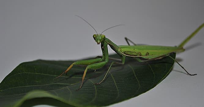 Nature Trivia Question: What do mantises eat?