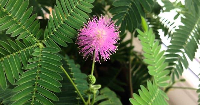 Naturaleza Pregunta Trivia: ¿Cuál de las siguientes plantas tiene hojas que se cierran al tocarlas?
