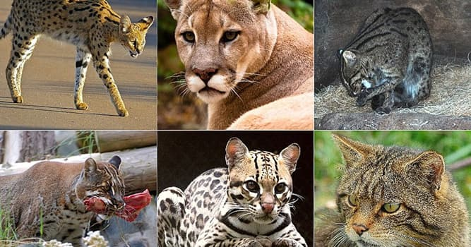 Naturaleza Pregunta Trivia: ¿Cuál es el tercer felino más grande, después del tigre y el león?