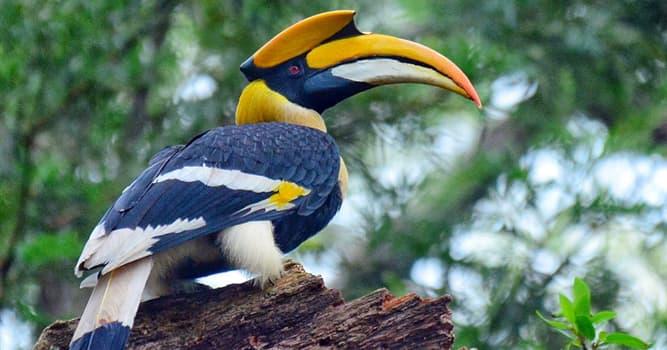 """Naturaleza Pregunta Trivia: ¿A qué especie pertenece el ave llamada """"Cálao bicorne""""?"""