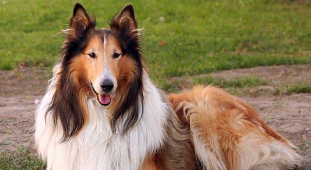 Naturaleza Pregunta Trivia: ¿De qué país son originarias las razas de perros collie?