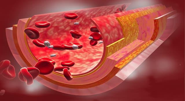 Сiencia Pregunta Trivia: ¿Cómo se denomina el tejido que tapiza el interior de los vasos sanguíneos?