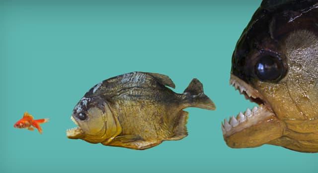 Naturaleza Pregunta Trivia: ¿Cómo sobrevive la coridora de tres bandas, un pez amazónico, a los mordiscos de las pirañas?