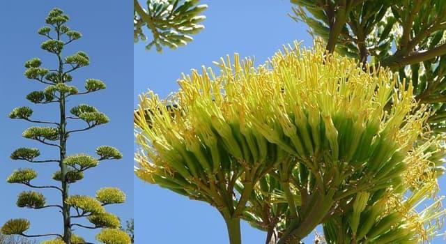 Naturaleza Pregunta Trivia: ¿Cuál de las siguientes afirmaciones sobre el agave amarillo o pita es cierta?