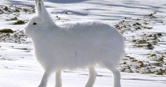 Naturaleza Pregunta Trivia: ¿Cuál es el nombre común del Lepus arcticus?