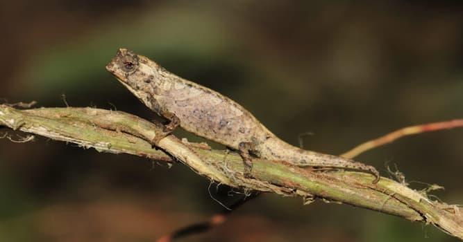 Naturaleza Pregunta Trivia: ¿Cuál es el reptil más pequeño del mundo?