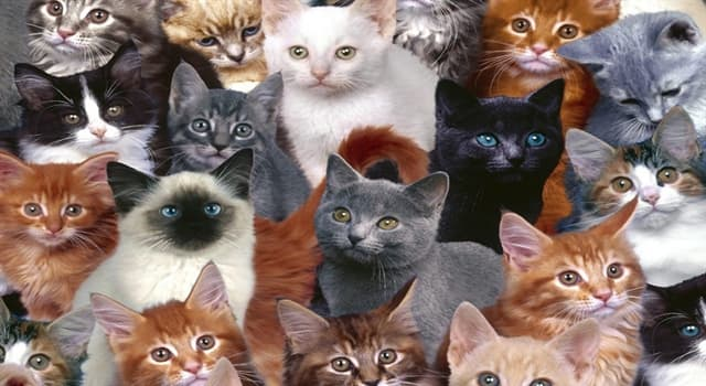 """Naturaleza Pregunta Trivia: ¿Cuál es la principal característica de la raza de gatos """"Selkirk rex""""?"""