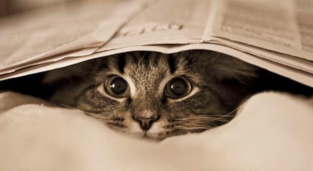 """Naturaleza Pregunta Trivia: ¿Cuál es una de las características que distinguen a la raza de gatos llamada """"Maine Coon""""?"""