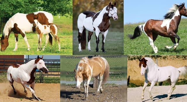 """Naturaleza Pregunta Trivia: ¿Cuántas categorías existen en el registro de la raza de caballos llamada """"Paint horse""""?"""