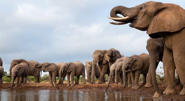 Naturaleza Pregunta Trivia: ¿Cuántas especies de elefantes existen hoy en día?