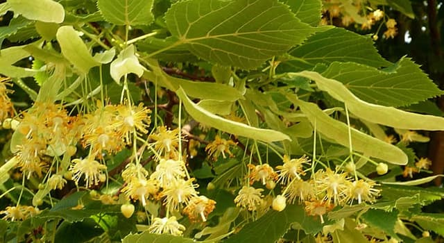 """Naturaleza Pregunta Trivia: ¿Cuántas especies se conocen de la planta comúnmente llamada """"Tilo"""" (Tilia)?"""