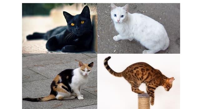 """Naturaleza Pregunta Trivia: ¿De qué color son los gatos de raza """"Bombay""""?"""