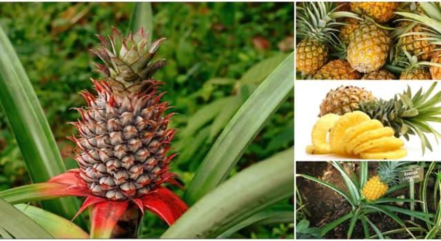 Naturaleza Pregunta Trivia: ¿De qué continente es nativa la piña también llamada ananá?