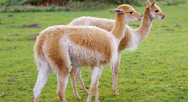 Naturaleza Pregunta Trivia: ¿De qué continente es oriunda la vicuña?