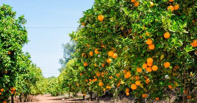 Naturaleza Pregunta Trivia: ¿De qué familia forma parte el árbol naranjero (Citrus × sinensis)?