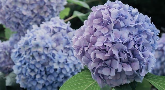 """Naturaleza Pregunta Trivia: ¿De qué otro continente además de Asia es nativa la planta conocida como """"Hortensia""""?"""