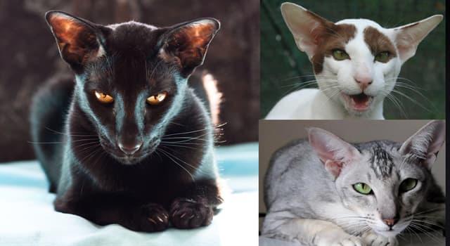 """Naturaleza Pregunta Trivia: ¿De qué país del continente asiático es originario el """"Gato Oriental""""?"""