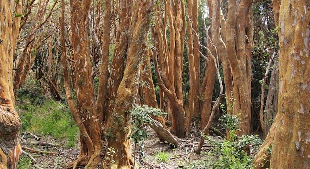 """Naturaleza Pregunta Trivia: ¿De qué países es originario el árbol """"Luma apiculata"""" más conocido como """"Arrayán""""?"""