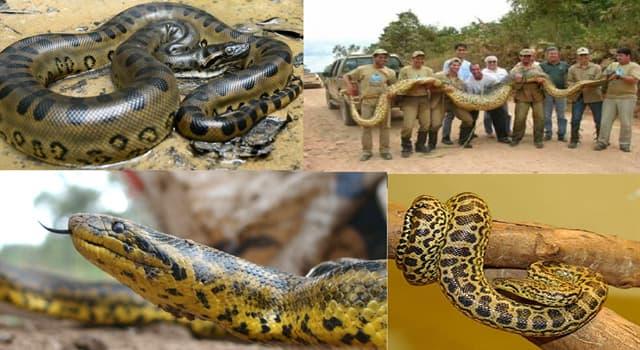 Naturaleza Pregunta Trivia: ¿De qué región es nativa la anaconda amarilla también llamada curiyú (Eunectes notaeus)?